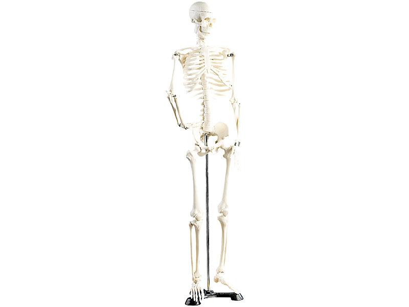 newgen medicals Skelett Modell: Original Lehrmittel Anatomie Skelett ...